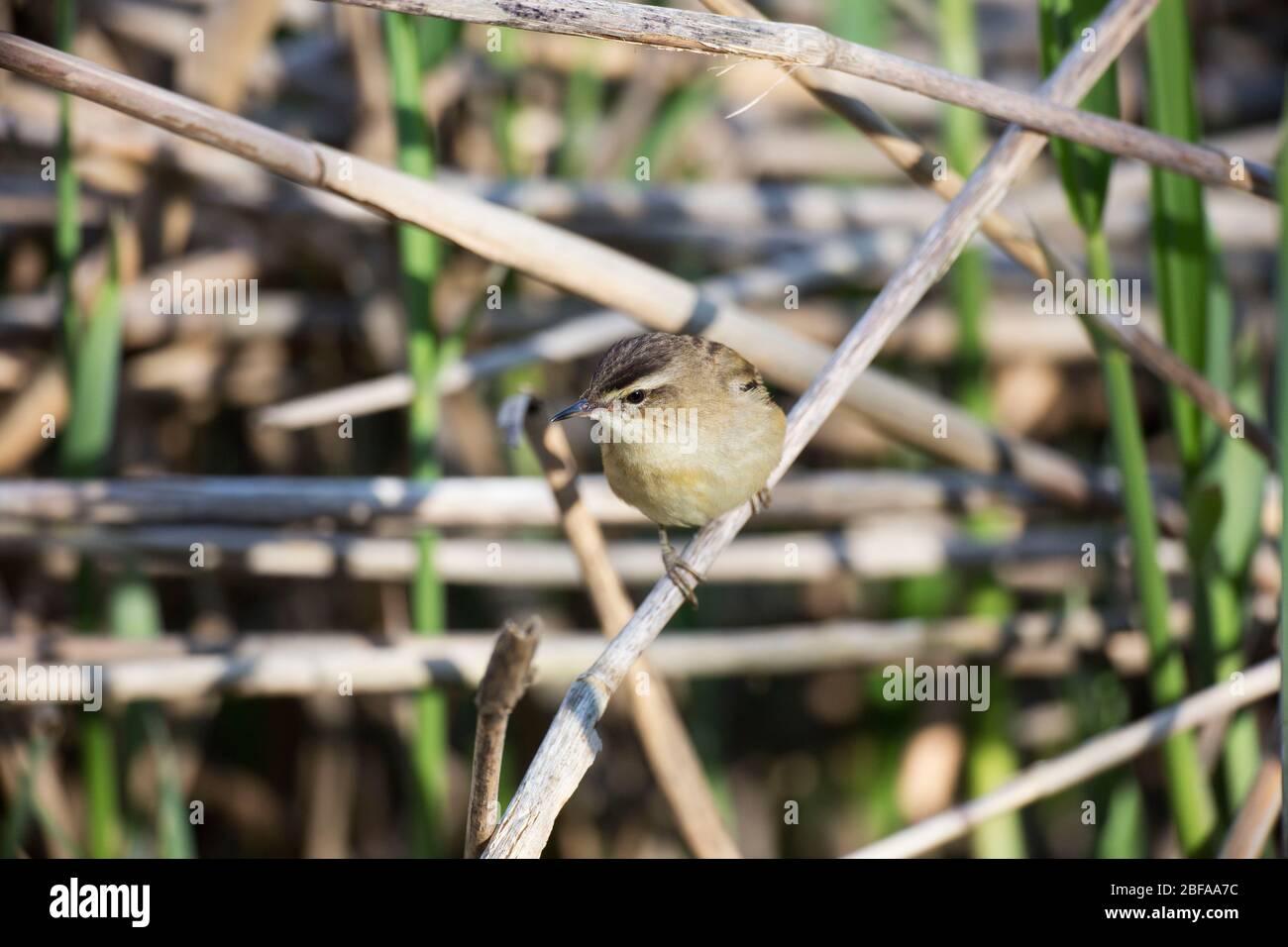 Sedge Warbler, Acrocephalus schoenobaenus, in a reed bed, Mid Wales, uk Stock Photo