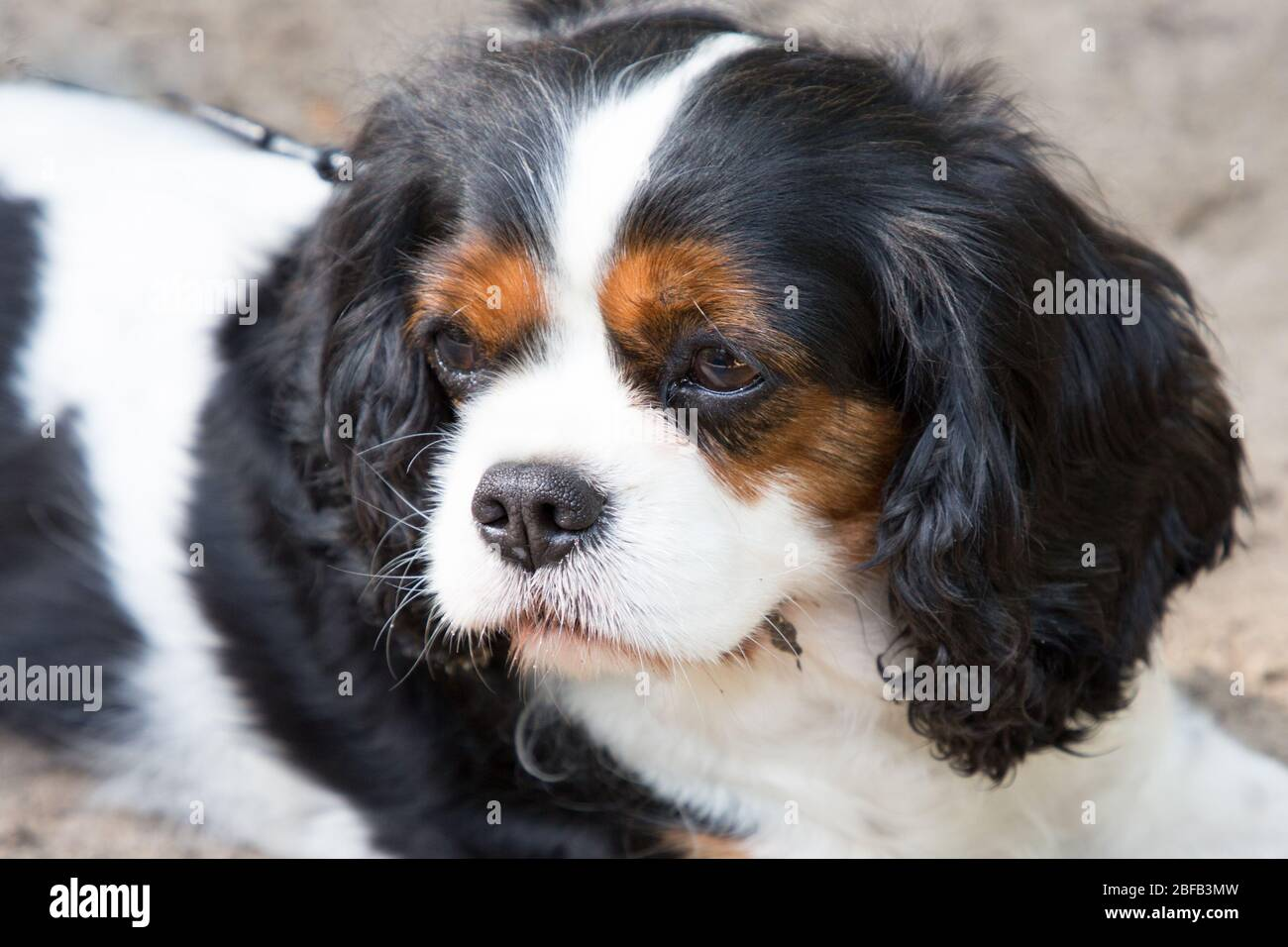 Portrait Of Cute Cavalier King Charles Spaniel Stock Photo Alamy