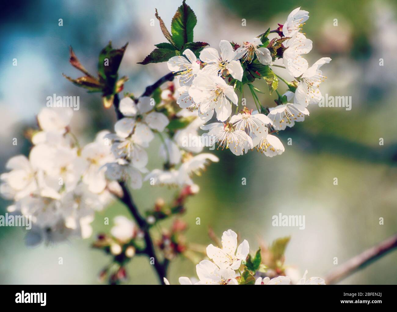 Spring in Bayern, April brings white blossoms on the apple trees against the blue sky, close up, soft focus Stock Photo