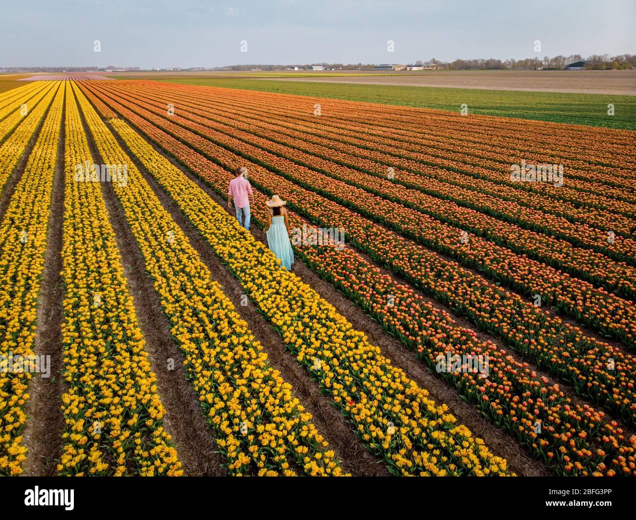 drone view of couple in flower field , tulip field during sunset, men and woman walking in tulip field in the Netherlands Noordoostpolder Stock Photo
