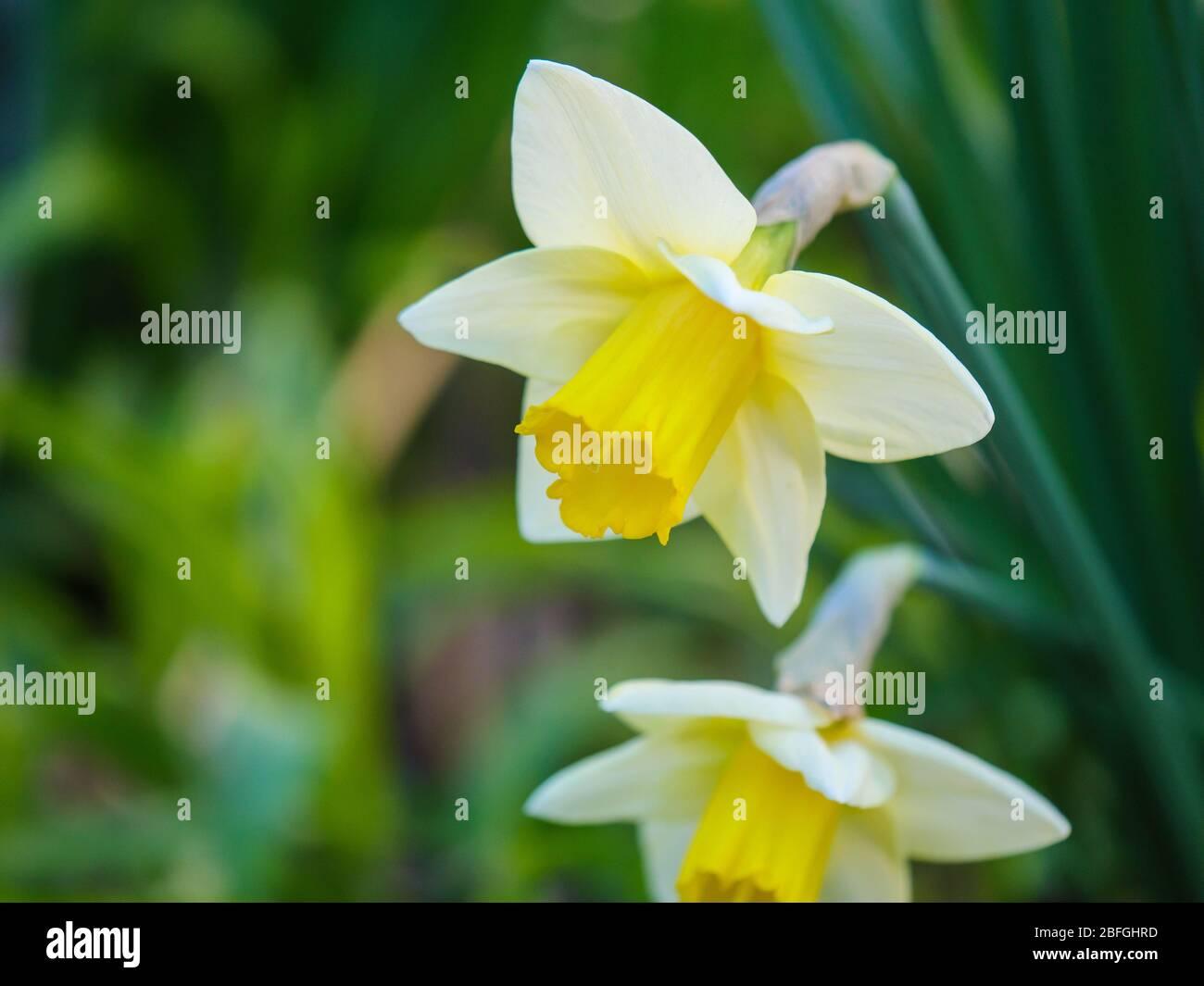 Daffodills in spring. Stock Photo