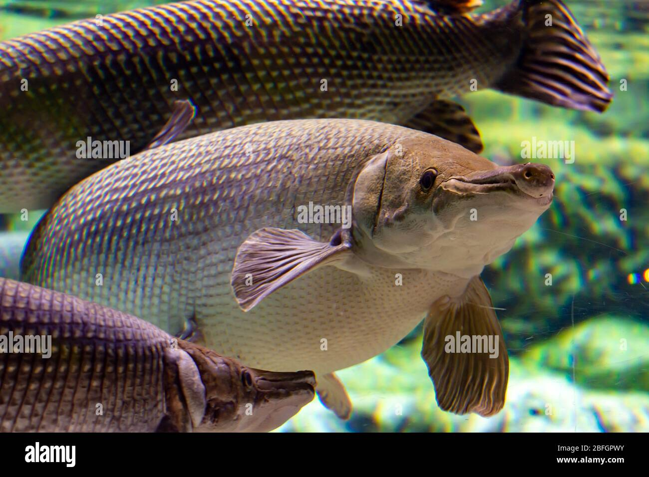 alligator gar is a ray-finned euryhaline fish related to the bowfin in the infraclass Holostei. It is the largest species in the gar family Stock Photo