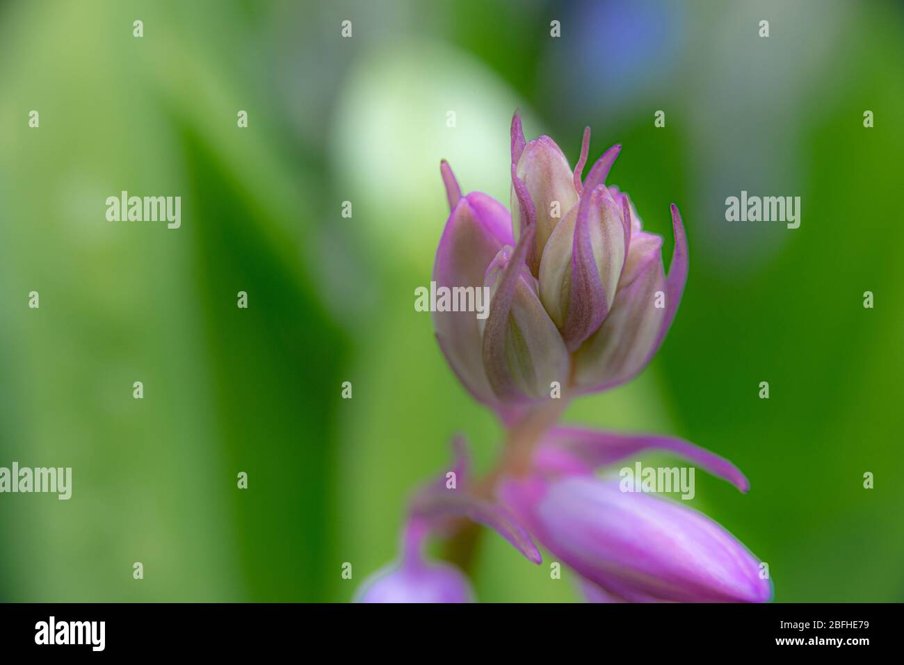 A detailed close up of a pink Spanish bluebell just before it opens into it's signature shape. These are also known as Spanish Squill, or Wood Hyacint Stock Photo