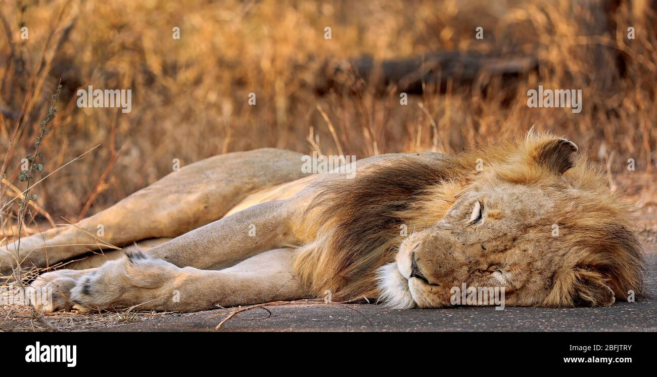 male lion, Kruger NP, South Africa Stock Photo