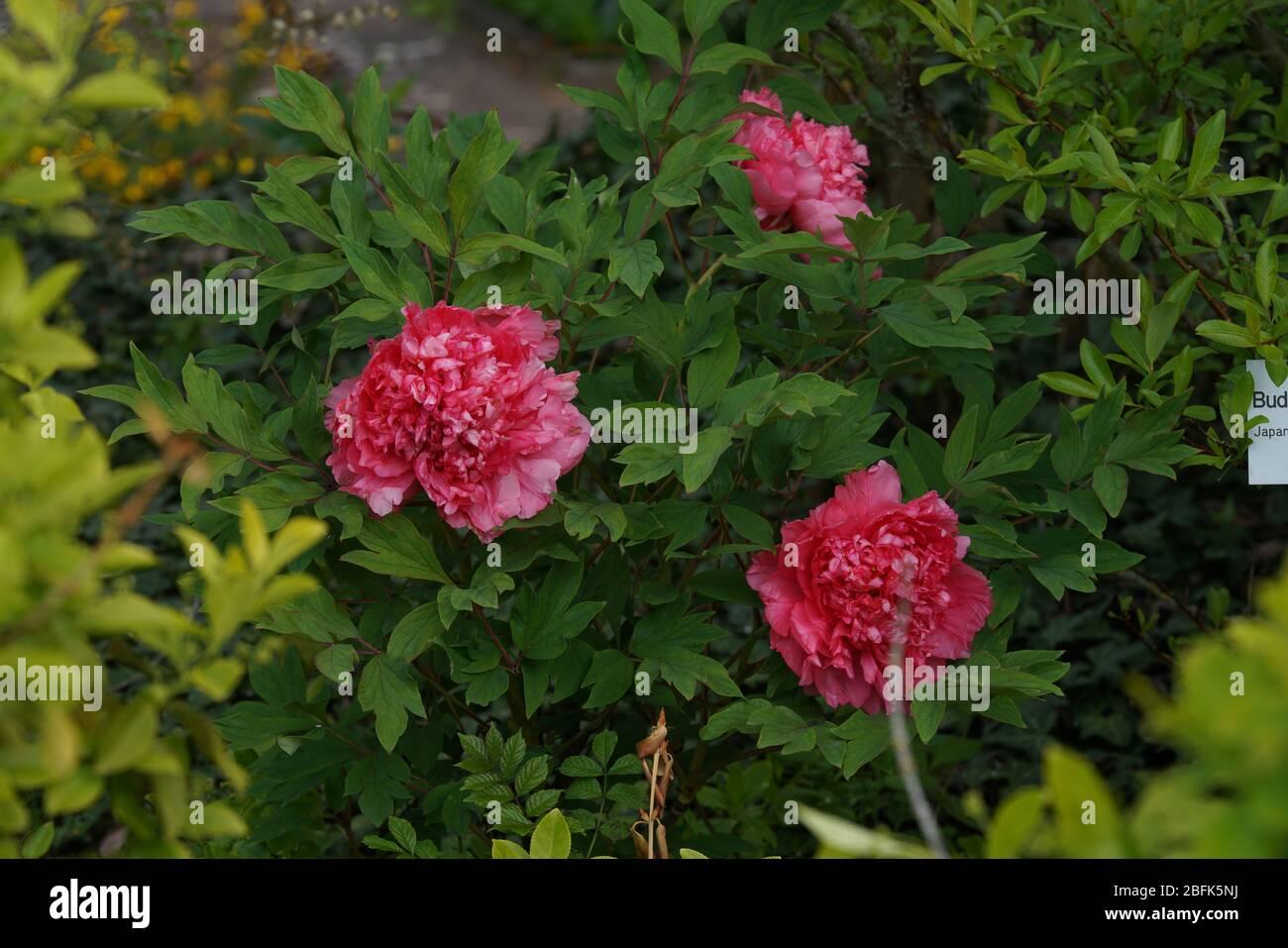 Paeonia officinalis 'Rubra Plena', echte Bauern-Pfingstrose Stock Photo