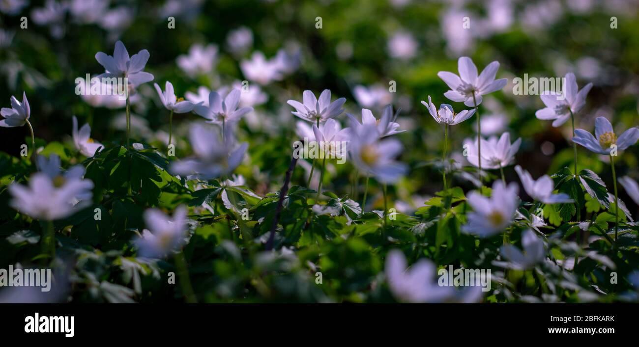 Wood Anemone Nemorosa Flower Carpet Nature Spring Season Early