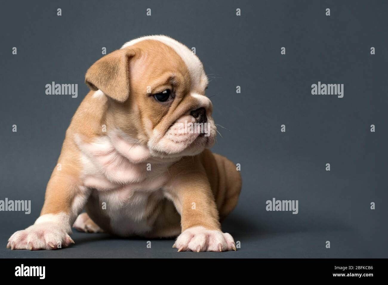 English Bulldog Puppy On Gray Background And Looking Right Text Space To The Right Stock Photo Alamy