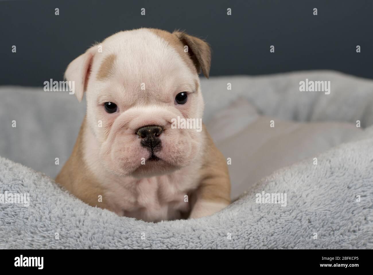 English Bulldog Puppy On Gray Background Stock Photo Alamy