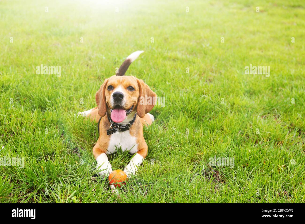 Funny Cute Beagle Dog In Park On Green Grass Stock Photo Alamy