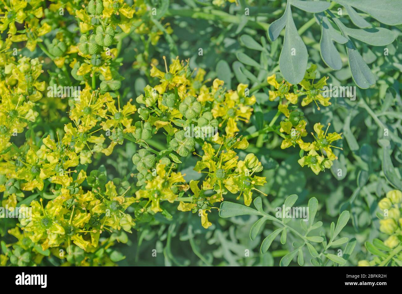 Rue Plant Stock Photos Rue Plant Stock Images Alamy