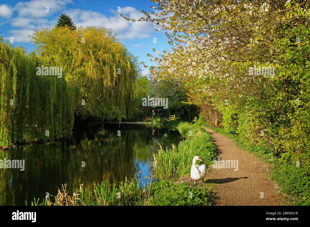 UK,South Yorkshire,Barnsley,Elsecar Canal,Swan and Footpath with Blossom and Weeping Willows in full bloom Stock Photo