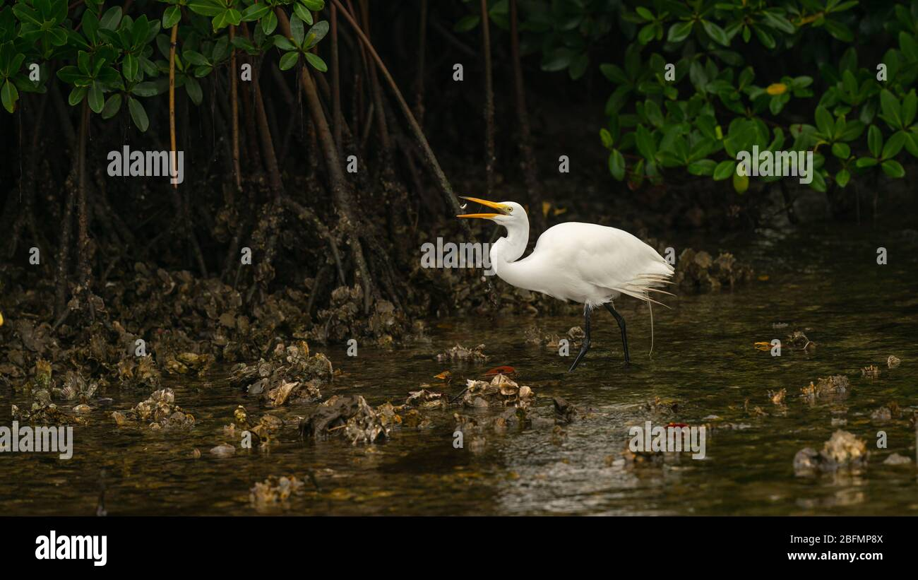 Great Egret Stock Photo