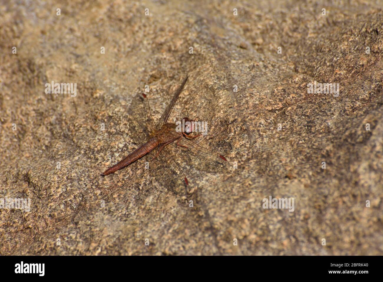 Female Broad Scarlet Dragonfly On Stone (Crocothemis erythraea) Stock Photo