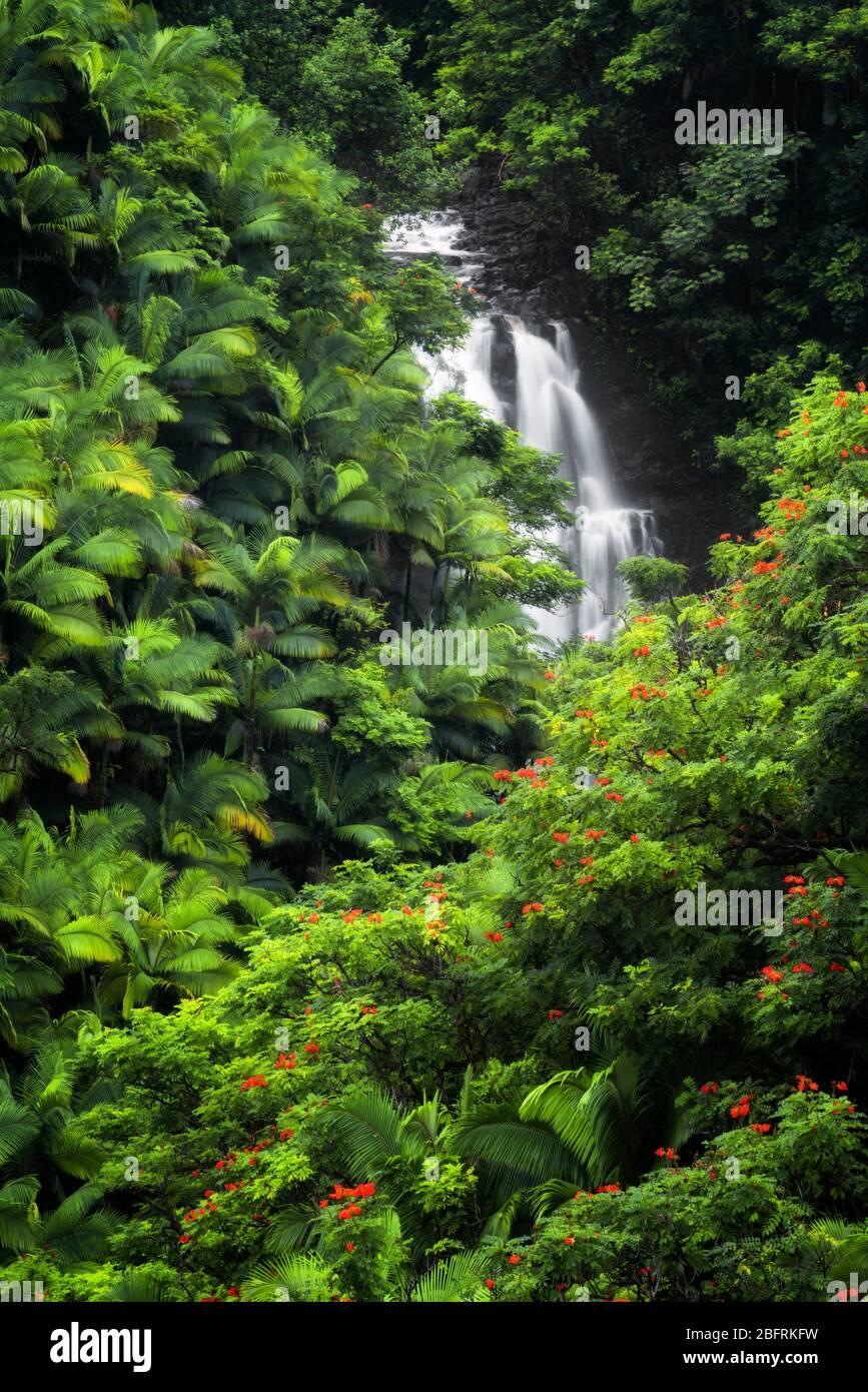 Seasonal waterfall flows among the dense rainforest vegetation of palm trees and flowering African tulip trees along the Hamakua Coast on the Big Isla Stock Photo