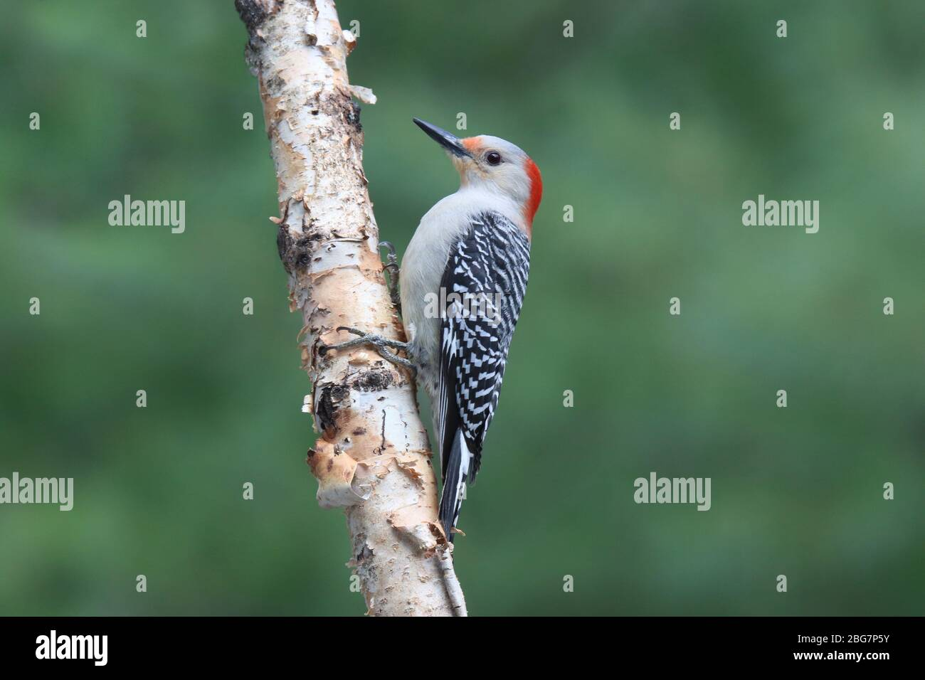 Female Red Bellied Woodpecker Melanerpes carolinus perching on a birch branch Stock Photo