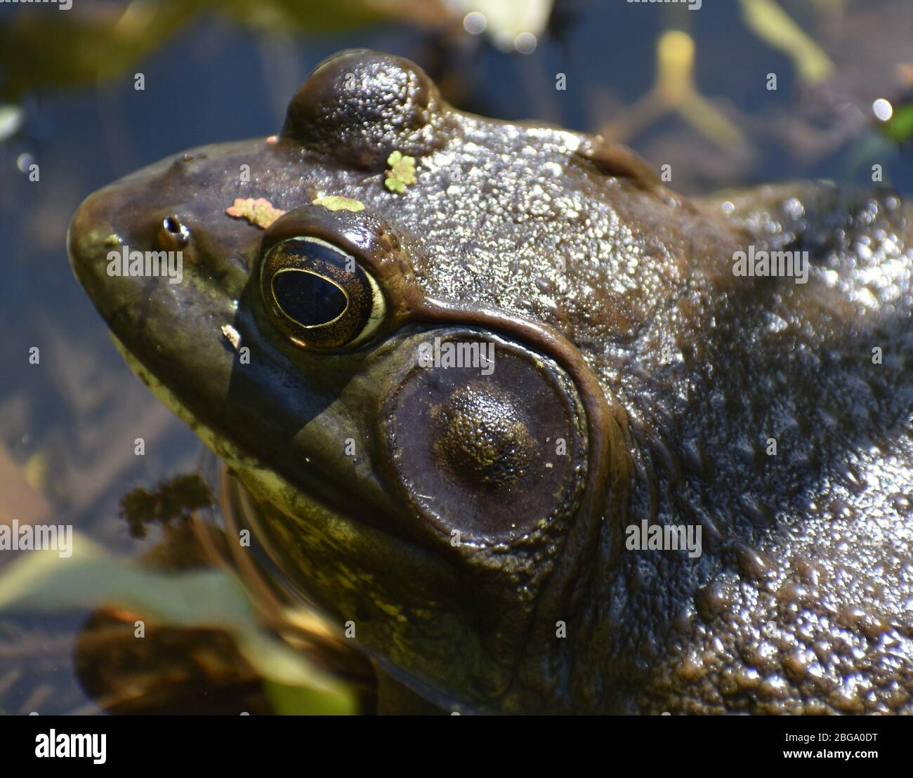 A close-up of a male American bullfrog (Lithobates catesbeianus), showing the prominent tympanum. Taken at edge of Watsonville Slough in California Stock Photo