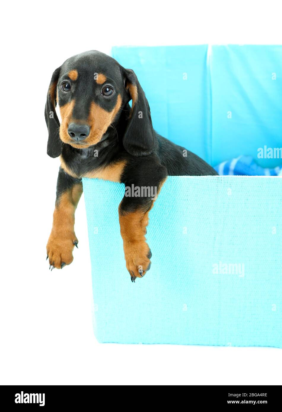 Cute Dachshund Puppy In Box Isolated On White Stock Photo Alamy