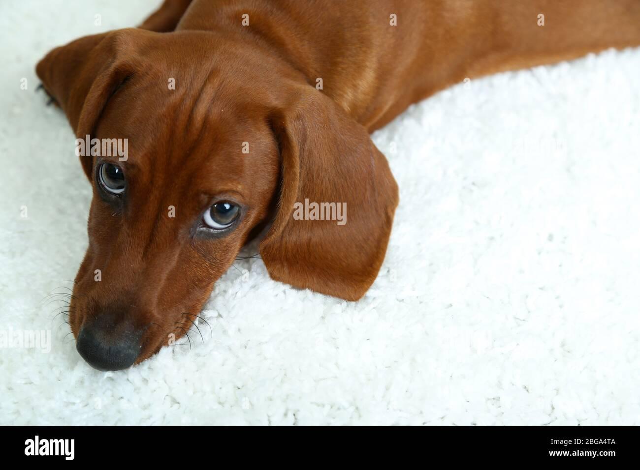 Cute Dachshund Puppy On White Carpet Stock Photo Alamy