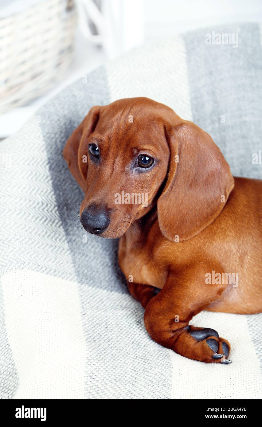Little Cute Dachshund Puppy Stock Photo Alamy