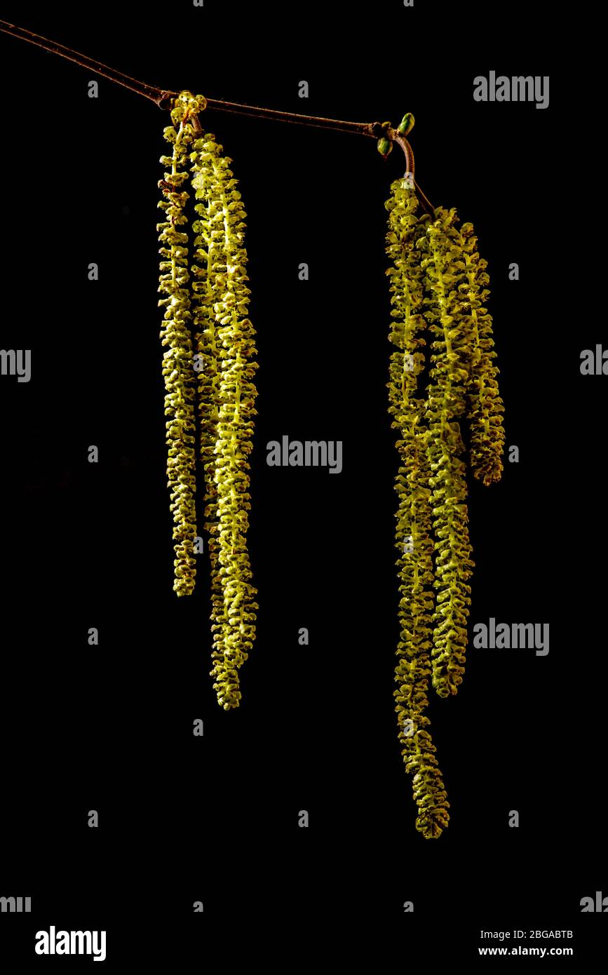 Haselnuss Blüten freigestellt Stock Photo