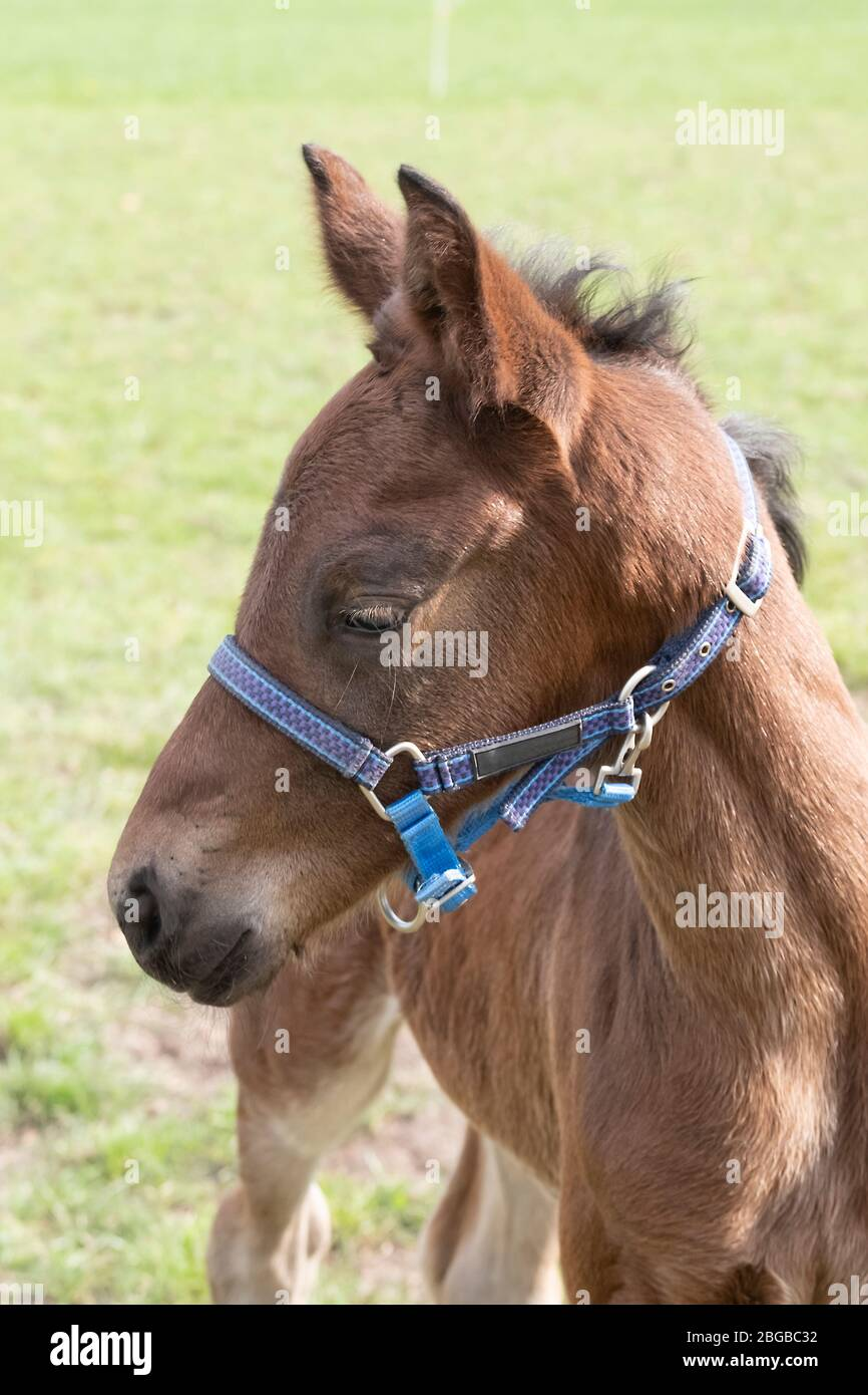 A Close Up Of A Funny Baby Horse With A Blue Halter Too Big Seen From The Side Stock Photo Alamy