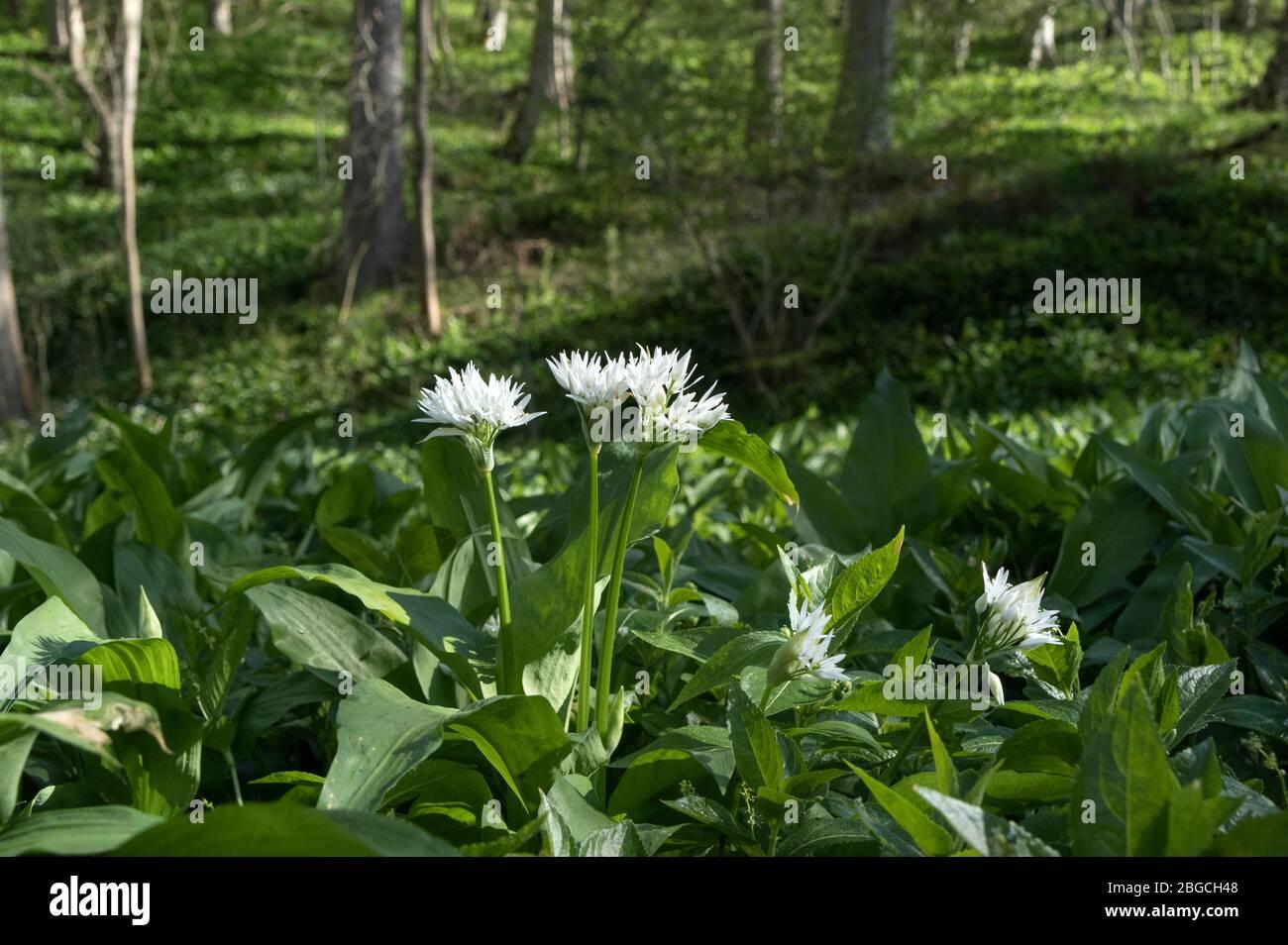 Ramsons Allium Ursinum Flowers In A Woodland Environment Uk