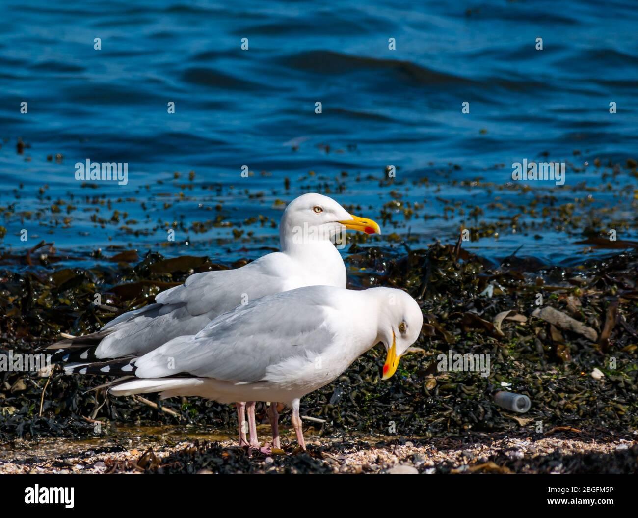 North Berwick, East Lothian, Scotland, United Kingdom. 21st April 2020.  A pair of herring gulls (Larus argentatus) on the shoreline of East beach in Milsey bay Stock Photo