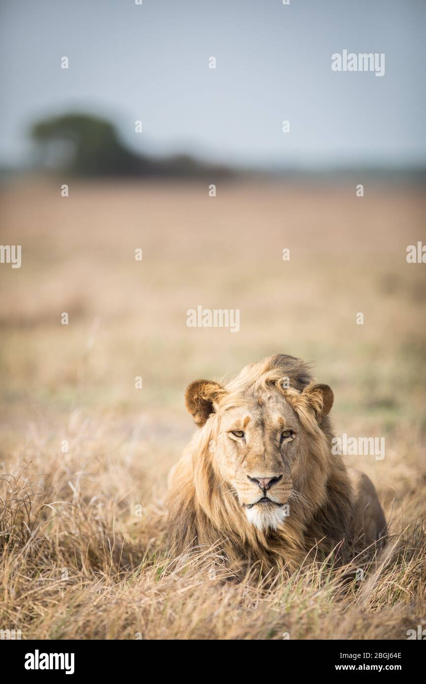 Busanga Plains, an exclusive safari destination in Kafue National Park, North-Western, Zambia, is home to a pride of African lions, Panthera leo. Stock Photo