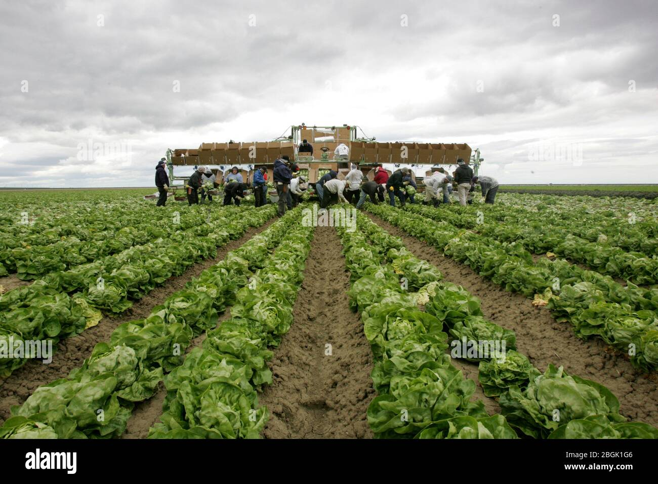April 11, 2006, Huron, California, USA: Just outside of Huron, the mainly undocumented migrant workforce takes the back-breaking work of lettuce picking, which earns on average six to eight dollars an hour. California's Central Valley offers at least seasonal agriculture jobs to 600,000 to 700,000 workers each year. Huron, the 'Heart of the Valley, ' is a city of 5,900 in western Fresno county with six bars, five gangs and a famous drug alley. Twice a year, when the lettuce is harvested, the population doubles. Gang members know that workers without bank accounts carry large amounts of cash, a Stock Photo