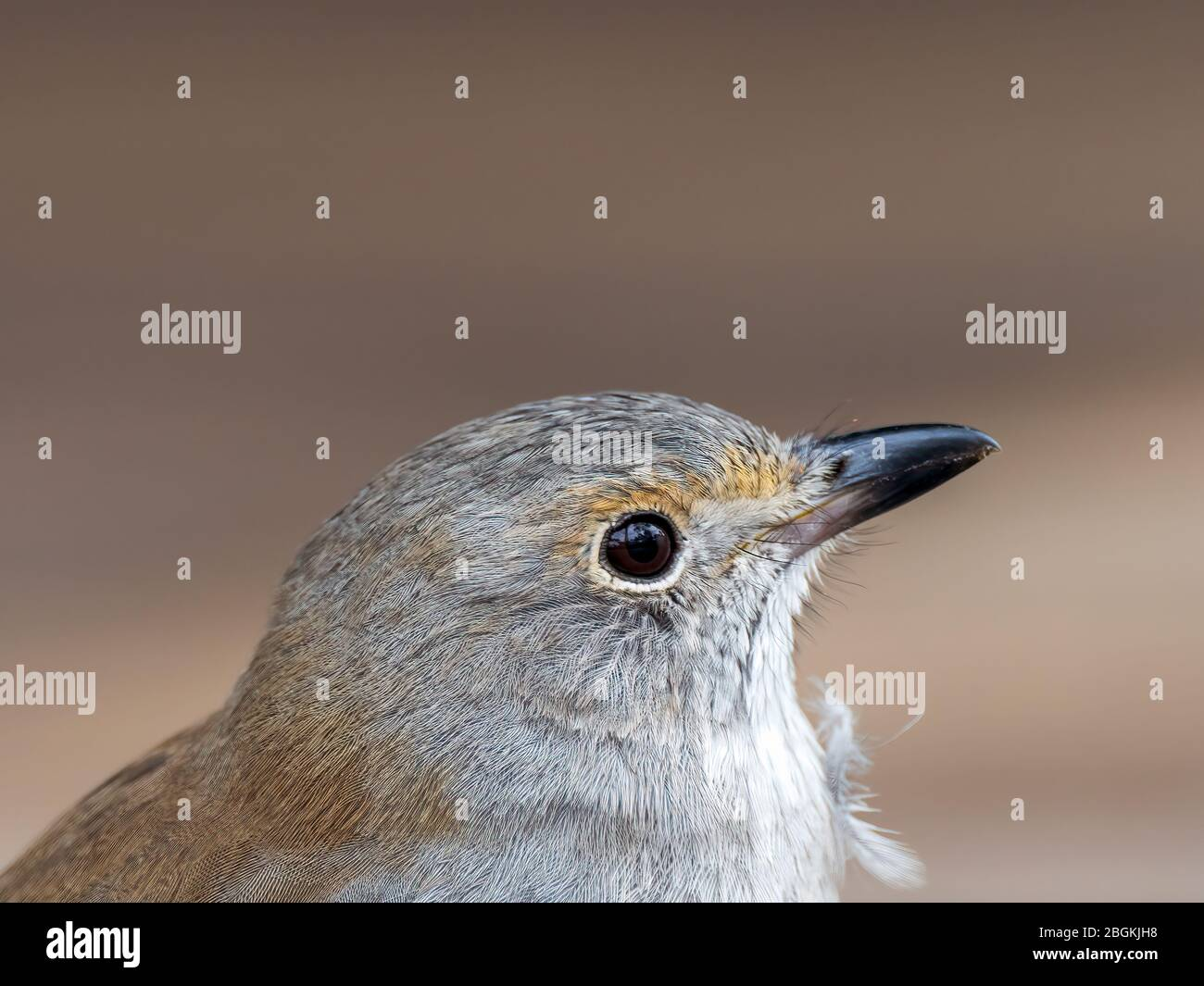 """An immature Grey Shrikethrush (Colluricincla harmonica) subspecies """"harmonica"""" with mostly grey plumage, olive-grey back and a brown eye stripe, Stock Photo"""