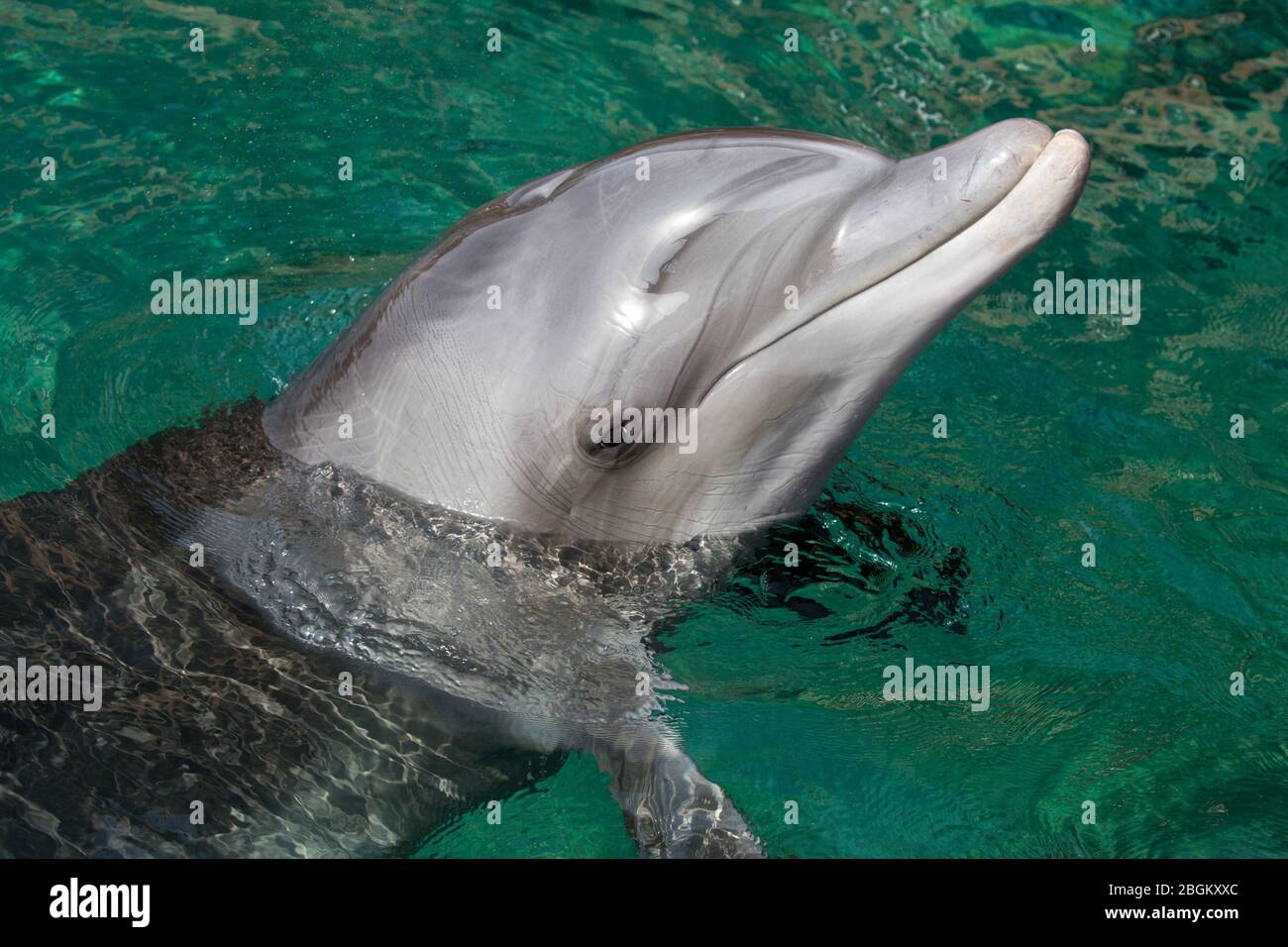 Bottlenose dolphin close up with head out of water in the Red Sea (Tursiops truncatus) Stock Photo