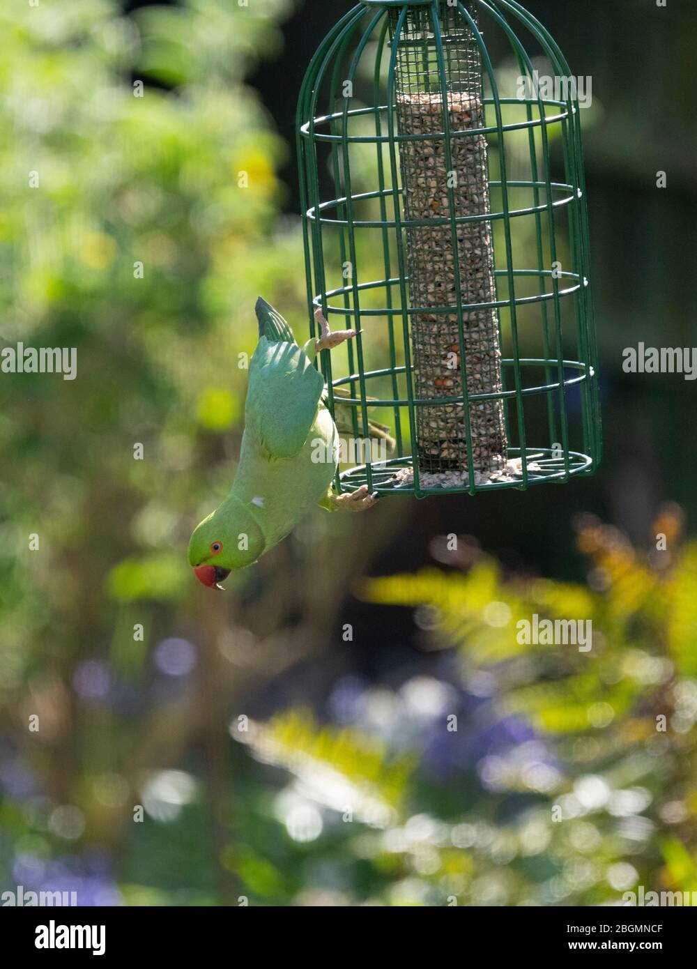Rosy Ringed Parakeet balancing on a bird feeder against a garden background, London UK Stock Photo