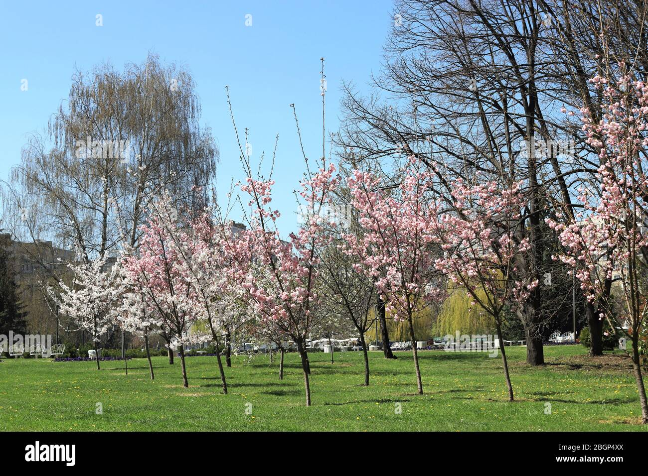 Japanese Pink Cherry Tree And White Orchard Tree In The Park