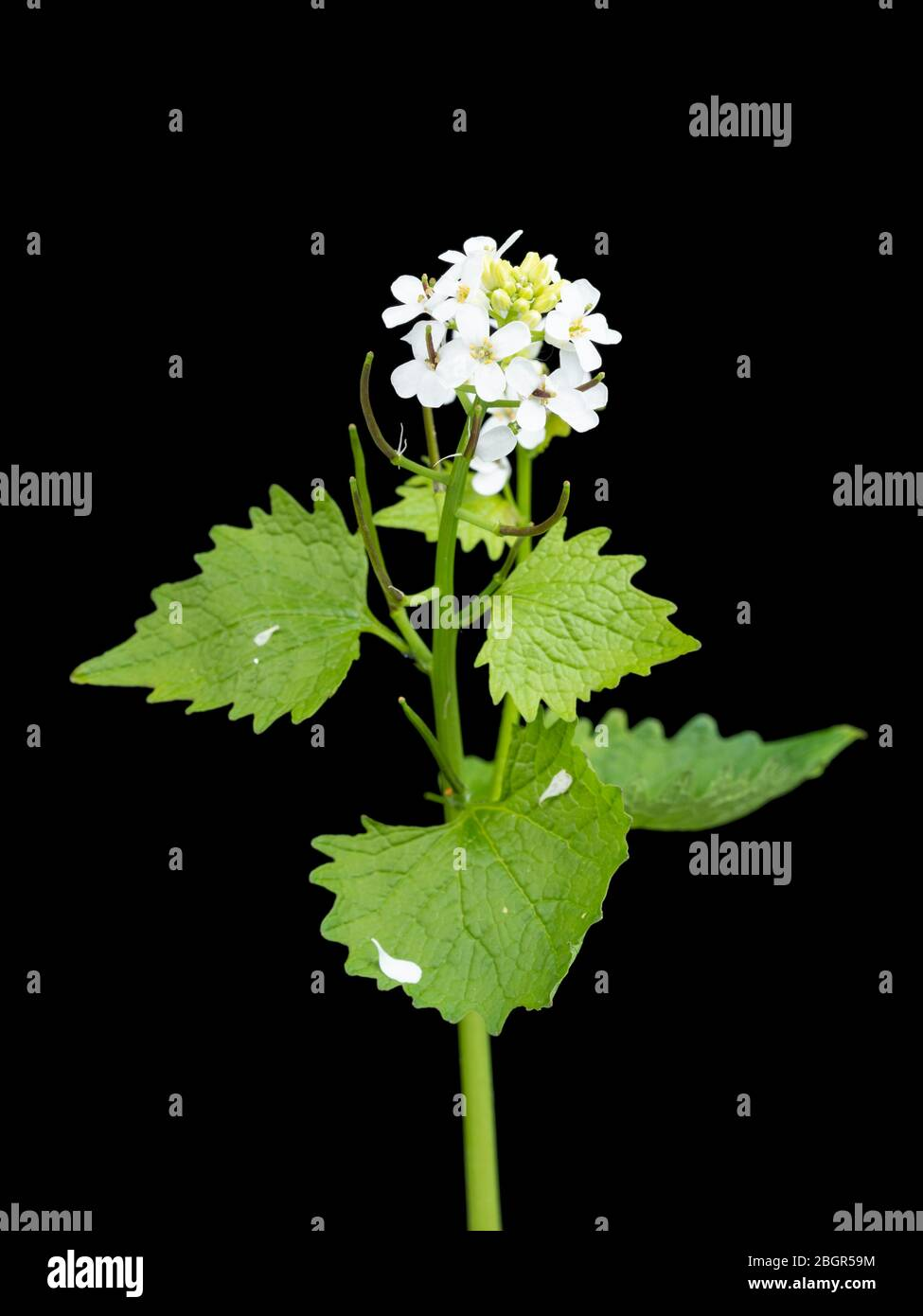 UK wildflower, Jack by the hedge or garlic mustard, Alliaria petiolata, flowering against a black background Stock Photo