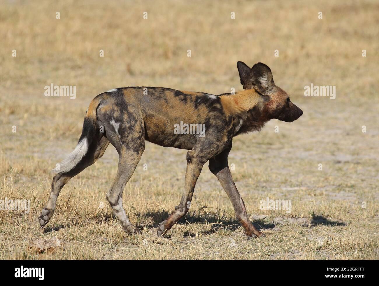 Botswana Painted dogs Stock Photo