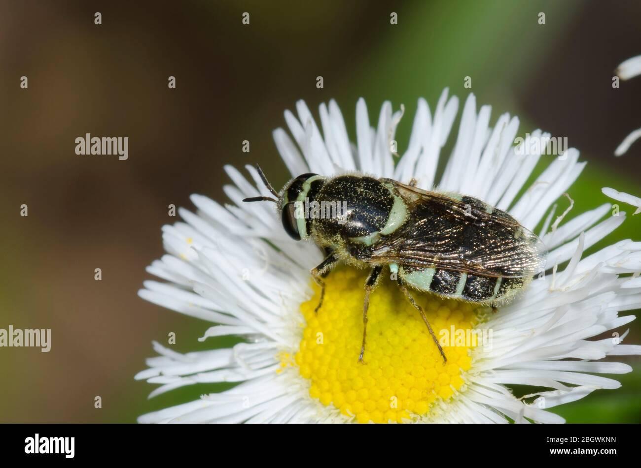 Soldier Fly, Tribe Stratiomyini, foraging on Fleabane, Erigeron sp. Stock Photo