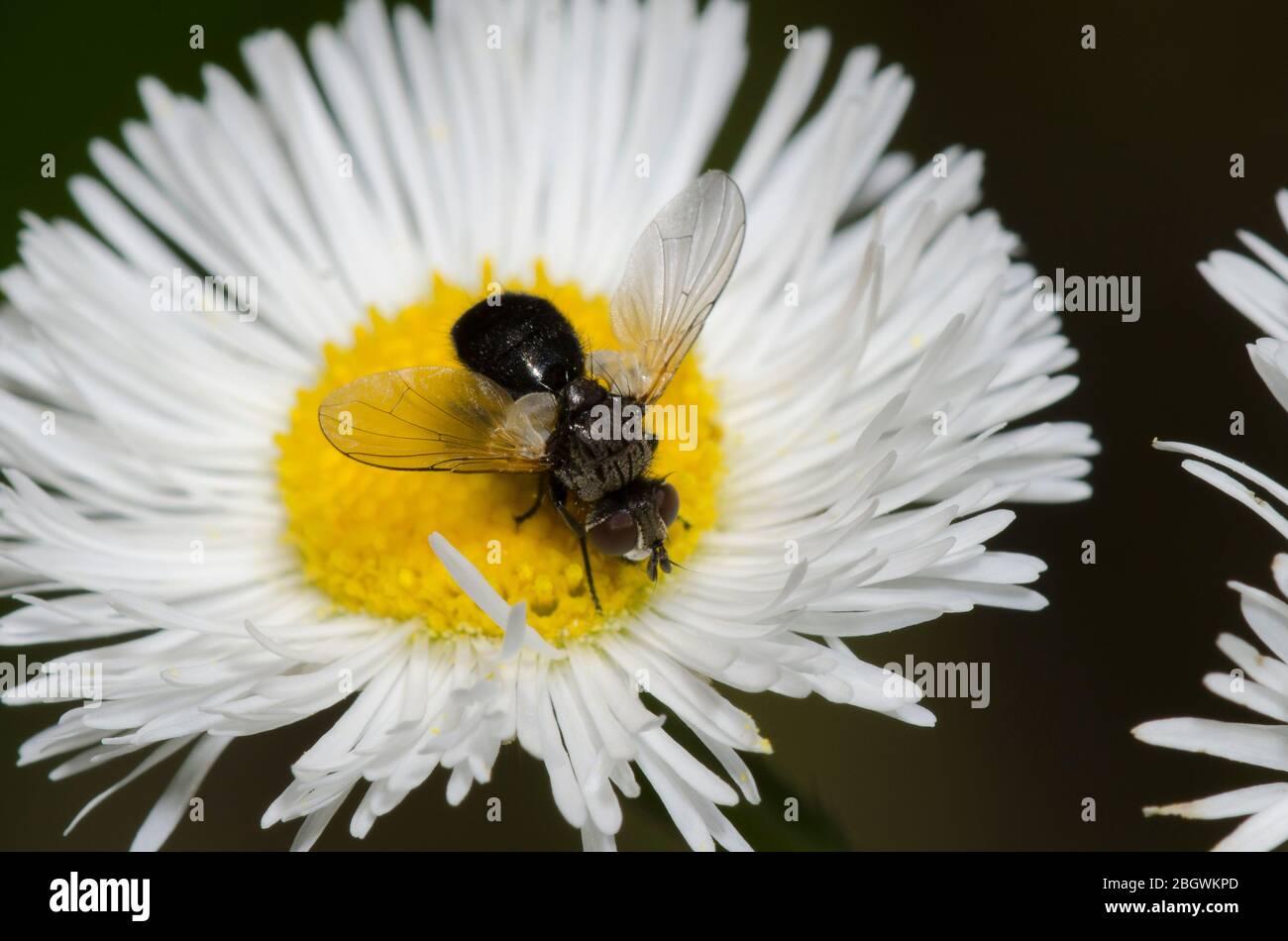 Tachinid Fly, Besseria atra, foraging on Fleabane, Erigeron sp. Stock Photo