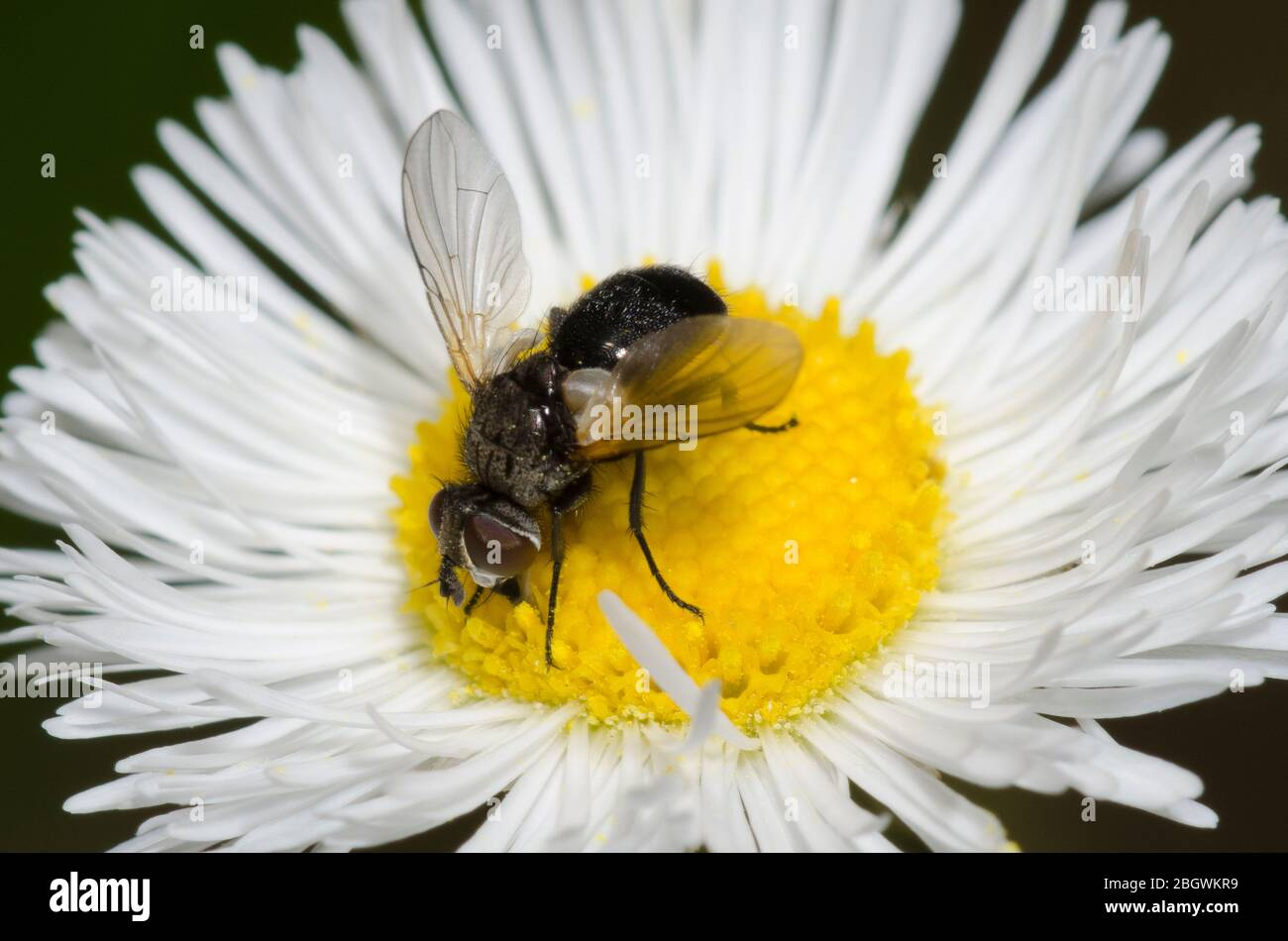 Tachinid Fly, Besseria atra, foraging on Fleabane, Erigeron sp. Stock Photo