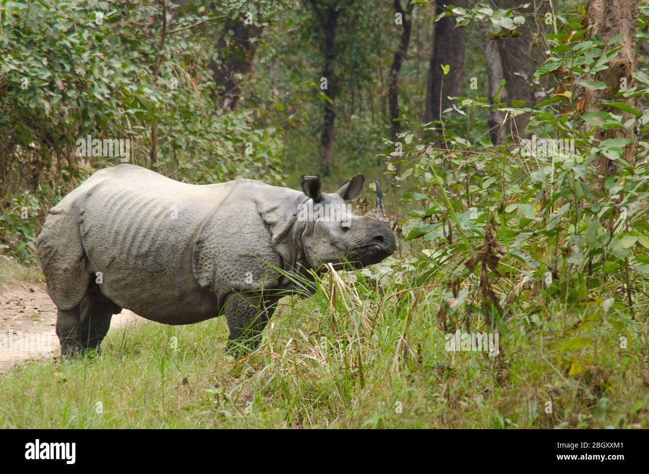 Rhinoceros Plural Rhinoceroses Rhinoceros Or Rhinoceri Any Of Five Or Six Species Of Giant Horn Bearing Herbivores That Include Some Of The Lar Stock Photo 354633553 Alamy