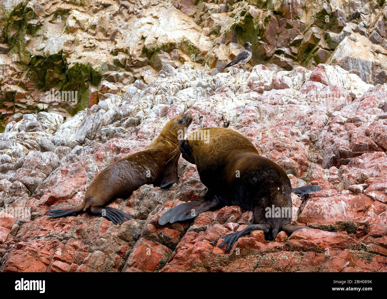 Female and male South American sea lions (Otaria flavescens) on the beach.  Also called the Southern Sea Lion and the Patagonian Sea Lion Stock Photo