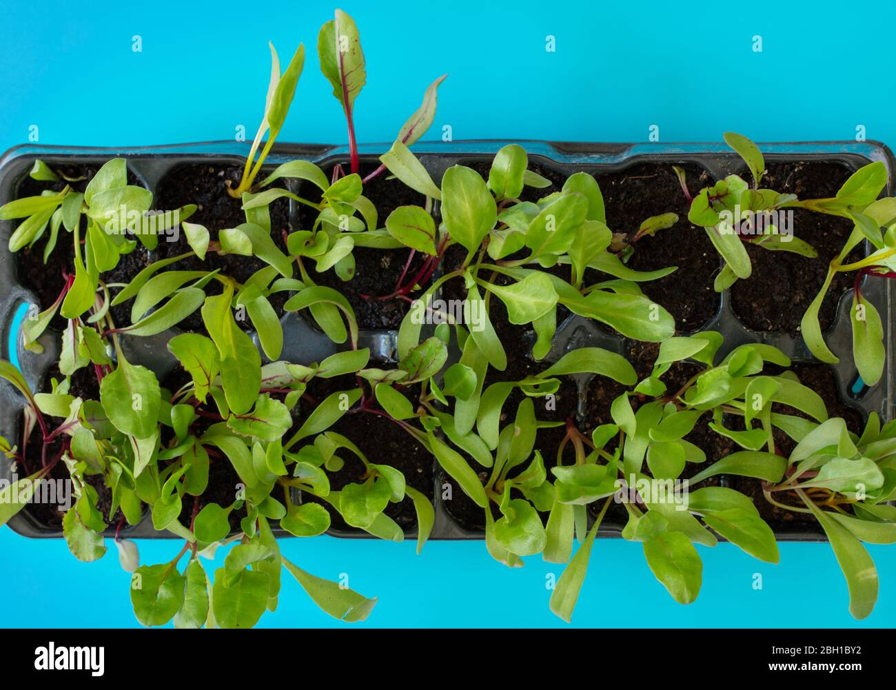 Beetroot Seedlings Seen From Above In A Plug Plant Tray Stock Photo Alamy