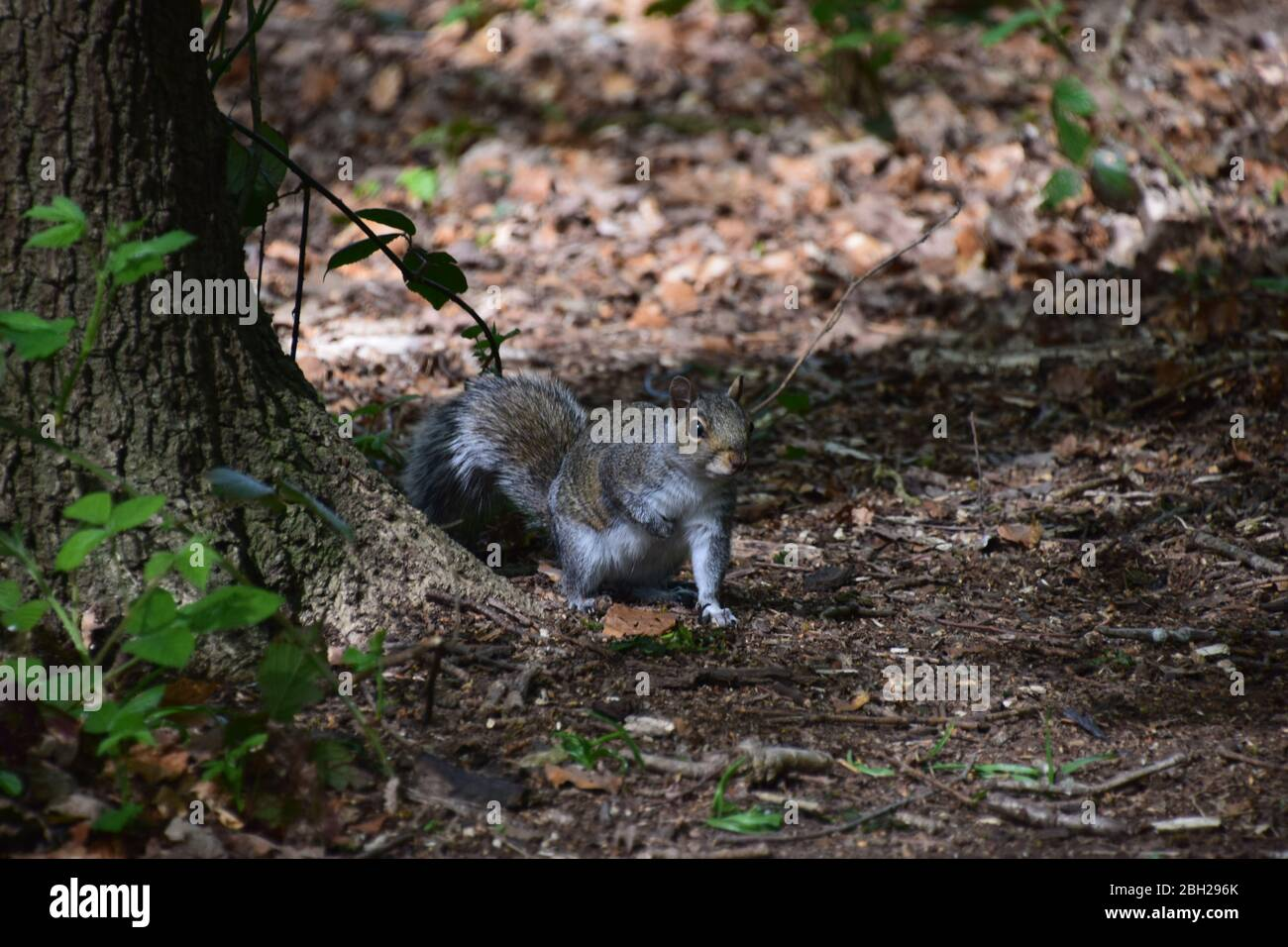 Grey Squirrels(Sciurus Carolinensis) on the forest floor at Sankey Valley Woods St Helens Merseyside. Stock Photo