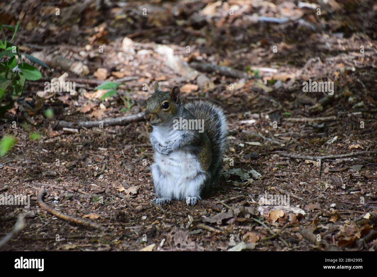 Grey Squirrels(Sciurus Carolinensis) on the forest floor at Sankey Valley Woods St Helens Merseyside. Stock Photo
