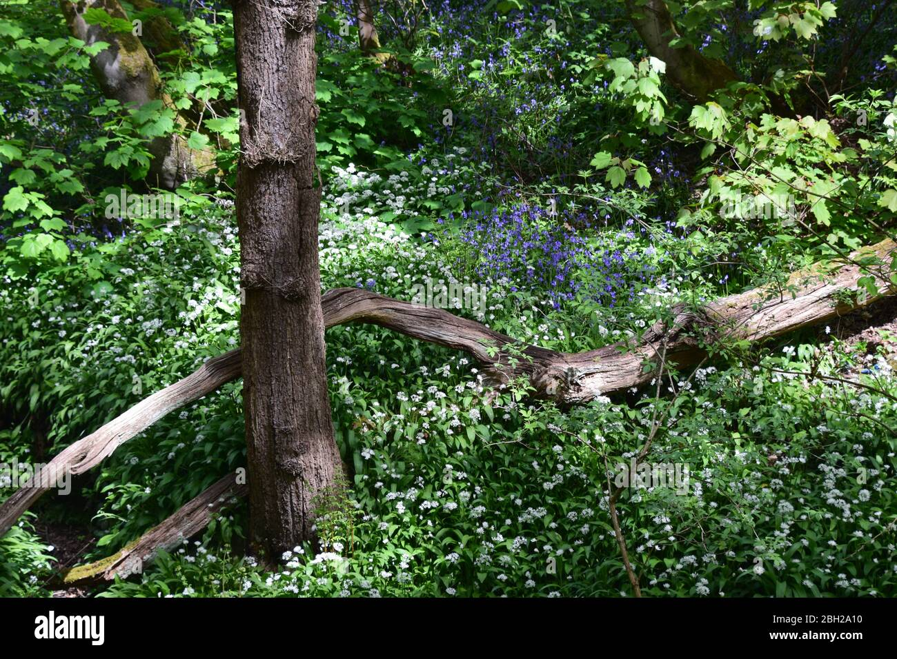 Sankey Valley Linear Park, SSSI Designated area St Helens .Merseyside. Part of the Mersey Forest. Stock Photo