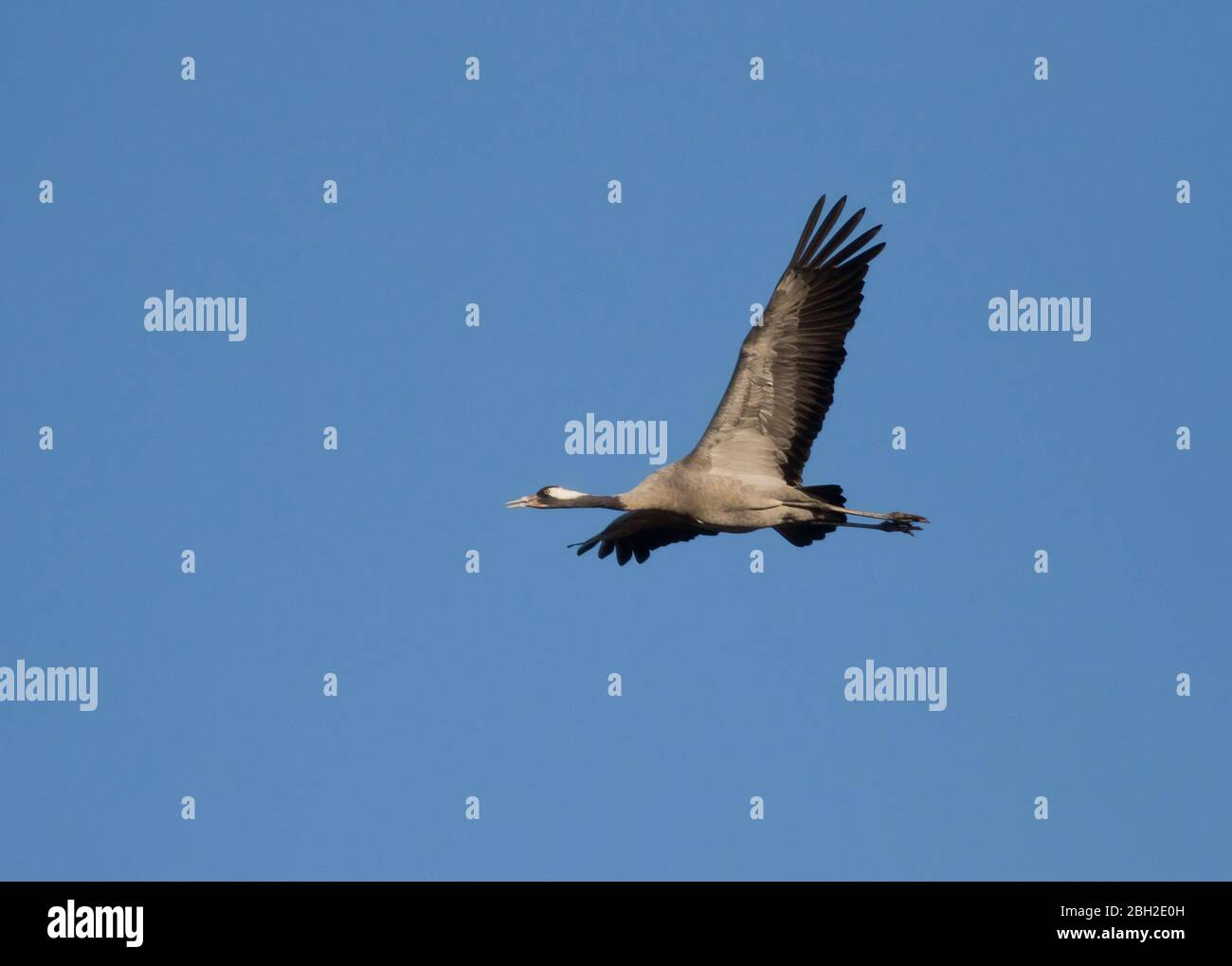 Germany, Common crane(Grusgrus)flying against clear blue sky Stock Photo