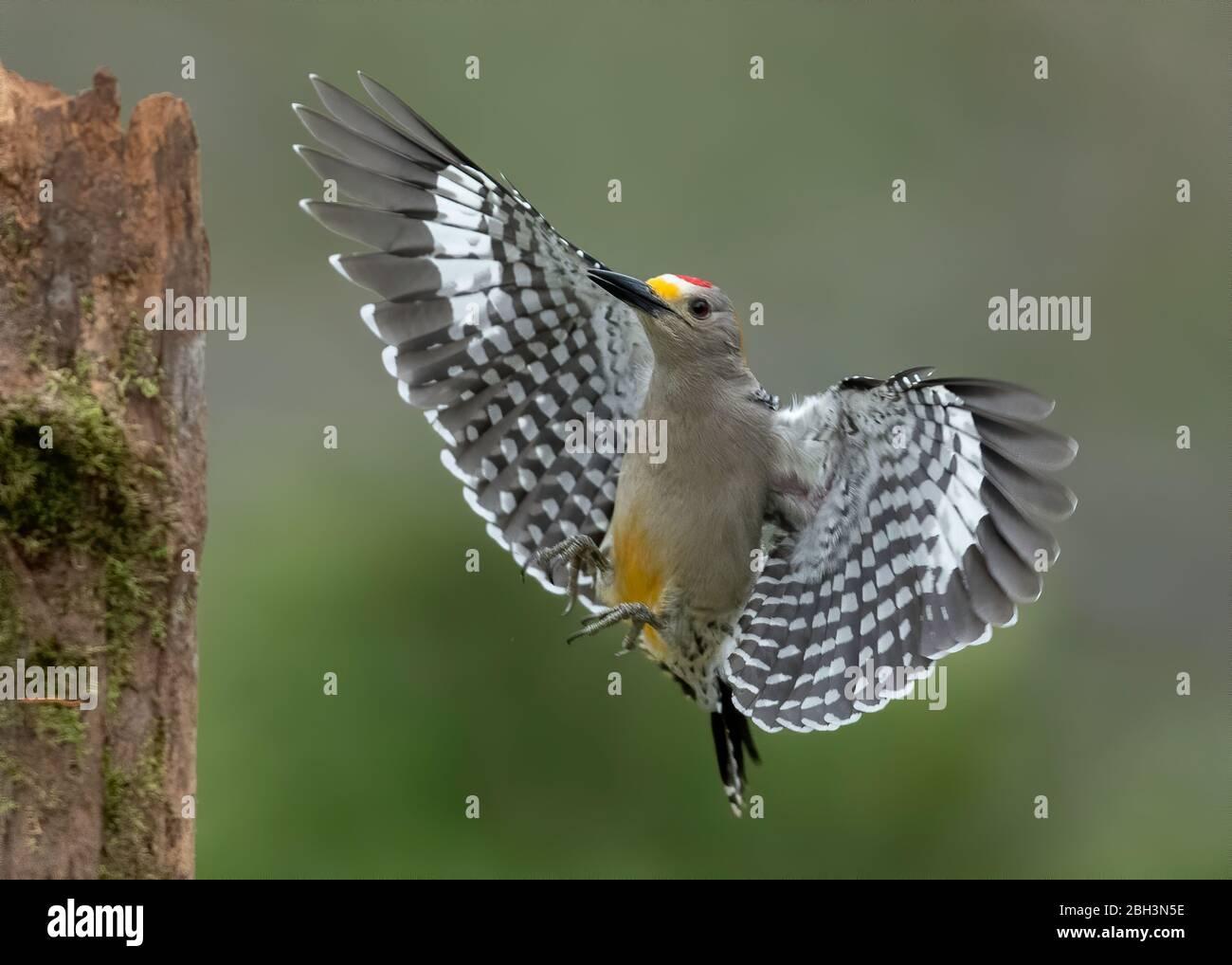 Golden-fronted Woodpecker (Melanerpes aurifrons), Alamo Texas, Rio Grande Valley, USA Stock Photo