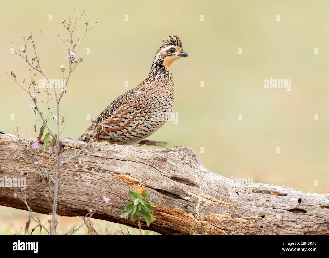 Northern Bobwhite (Colinus virginianus), Laguna Seca Ranch, Rio Grande Valley, Texas, USA Stock Photo