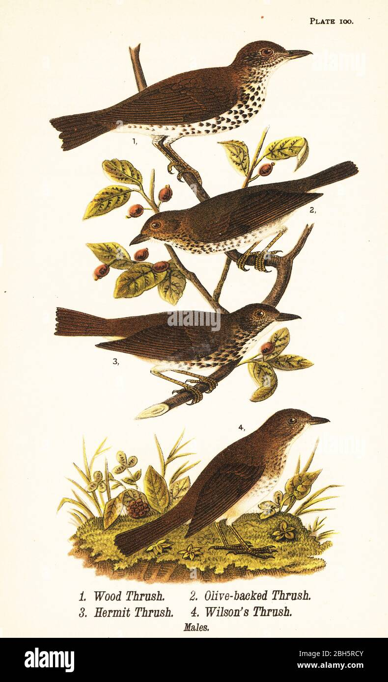 Wood thrush, Hylocichia mustelina 1, Swainson's thrush, Catharus ustulatus 2, olive-backed thrush or hermit thrush, Catharus guttatus 3, and tawny thrush or Wilson's thrush, Catharus fuscescens 4. Chromolithograph after an ornithological illustration by John James Audubon from Benjamin Harry Warren's Report on the Birds of Pennsylvania, E.K. Mayers, Harrisburg, 1890. Stock Photo