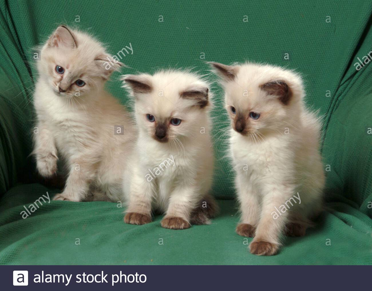 Cats Ragdoll Kittens Stock Photo Alamy