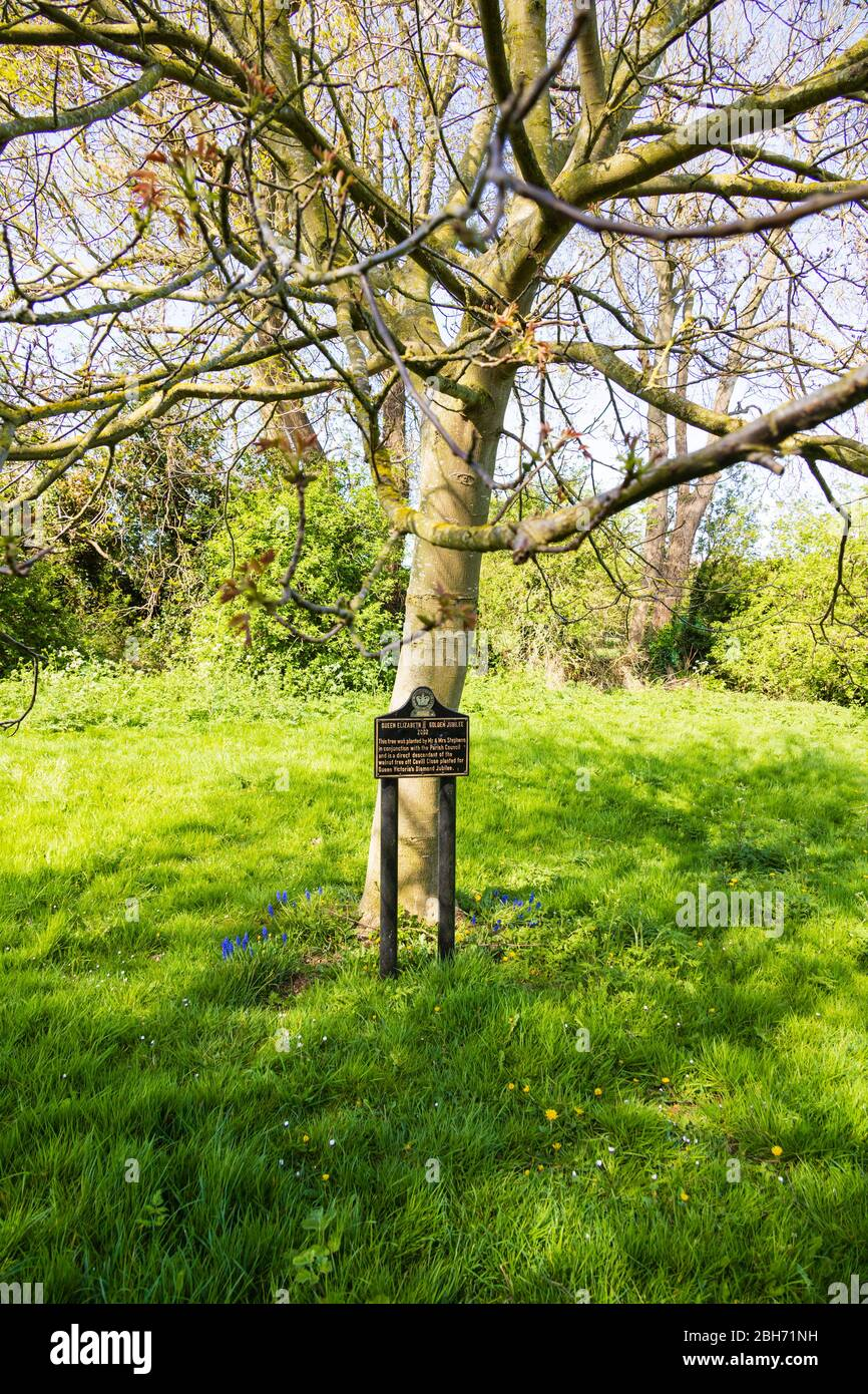 Walnut tree planted in recognition of Queen Elizabeth II Golden Jubilee 2002, Great Gonerby, Grantham, Lincolnshire, England. The tree is a direct des Stock Photo